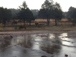 Herd of horses in the morning mist.  Basalt river bed makes the water look magical.