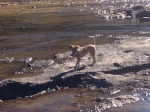 Mango is dipping her toes in the creek!  But the tail stays high and dry!