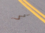 A snake that was crossing the road.  Unfortunately it was going to slow and the  curve was too sharp.  Snake lost- Alta won.