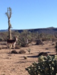 One of two wild burros.  Adorable and young!