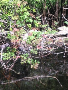 As we paddled in closer to look at the snake on a log, I found myself about 2 feet away from this.  Look closely into the bush....