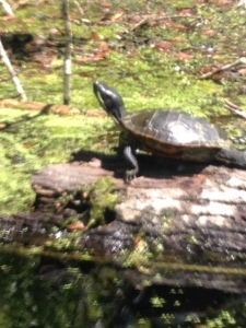 Snapping turtle on a log in the river.
