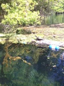 Turtle log in Manatee Springs.