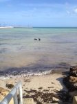 Seri and Zeb found a dog beach that allowed off-leash swimming in Key West.  Very unusual in Florida at all.