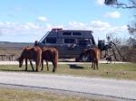 assateague horses1