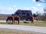 assateague horses1