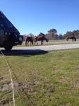 assateague horses4