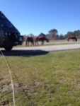assateague horses4