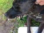 zeb and porcupine