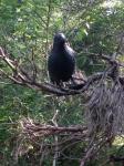 crow cache
