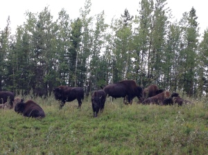 bison herd near road