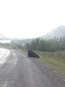 bison napping on road