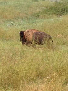 buffalo in badlands camp