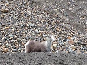 stone sheep1
