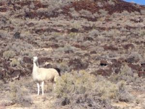 baker llama
