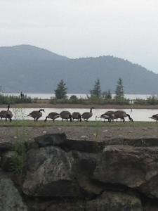 1canadian geese at harrison lake