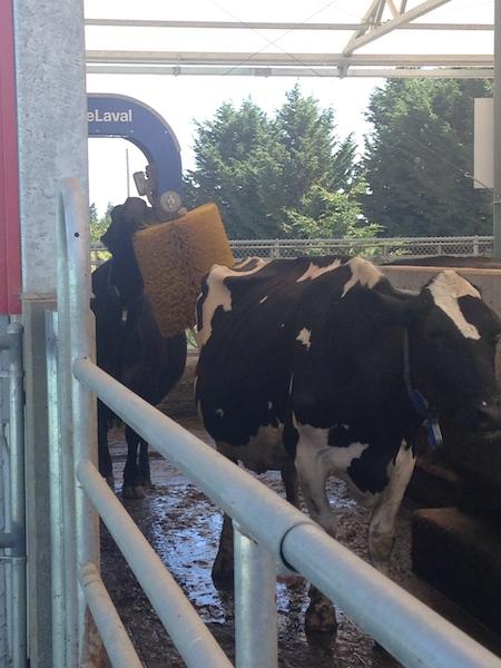 cow massage.jpg