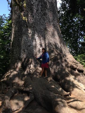 olympic oldest cedar.jpg