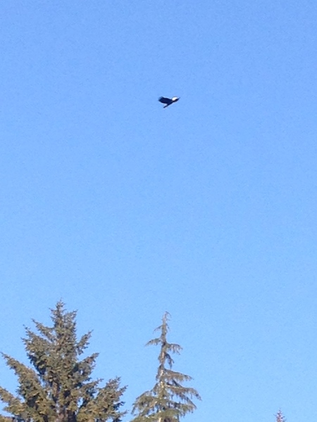 river camp bald eagle.jpg