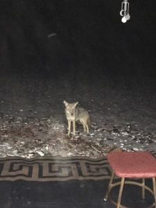 coyote-at-camp