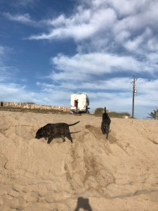 dogs play in sand