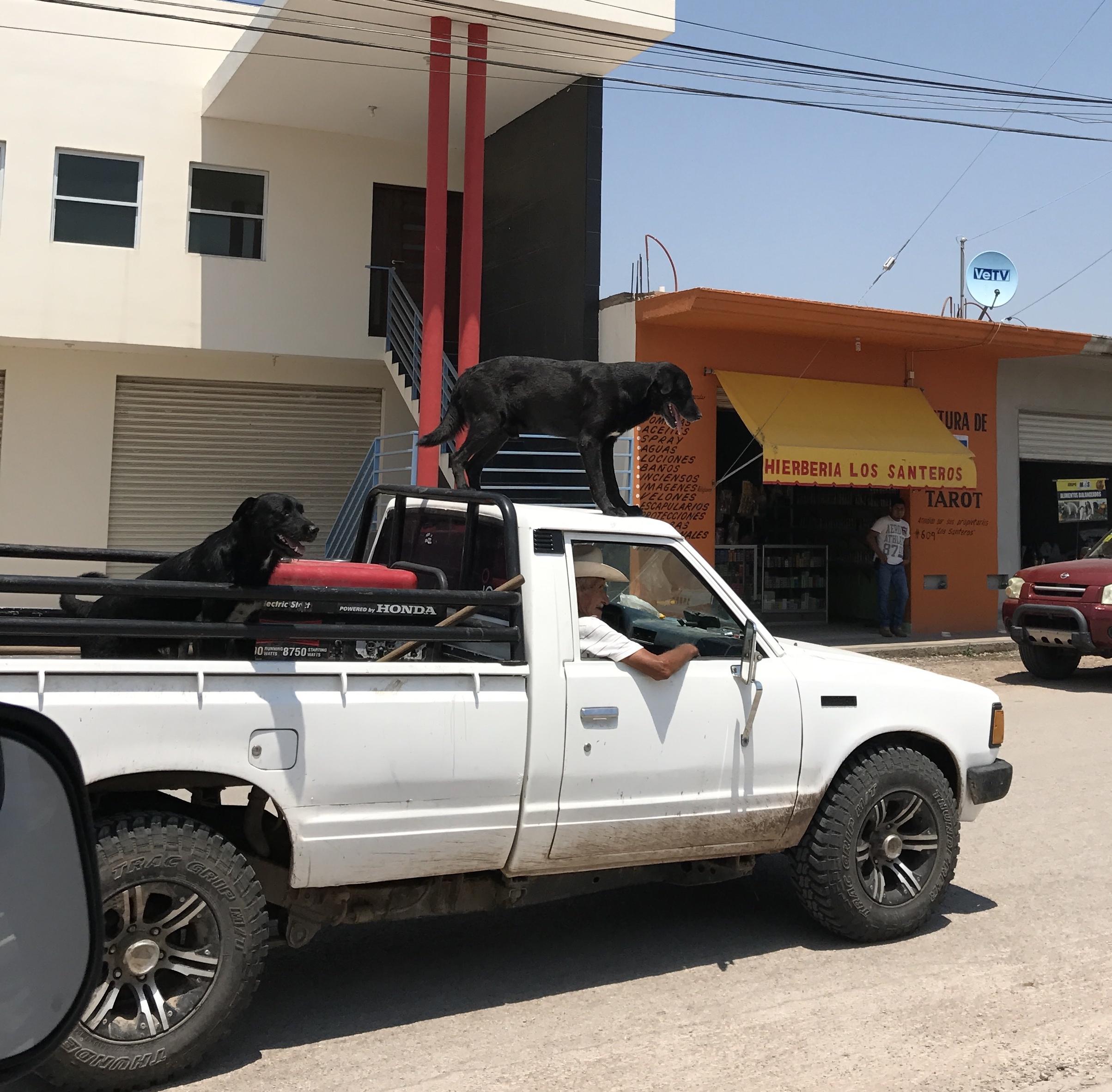dogs surfing on truck.jpg