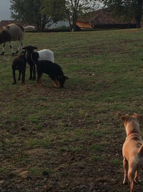 mango-dogs-sheep.jpg