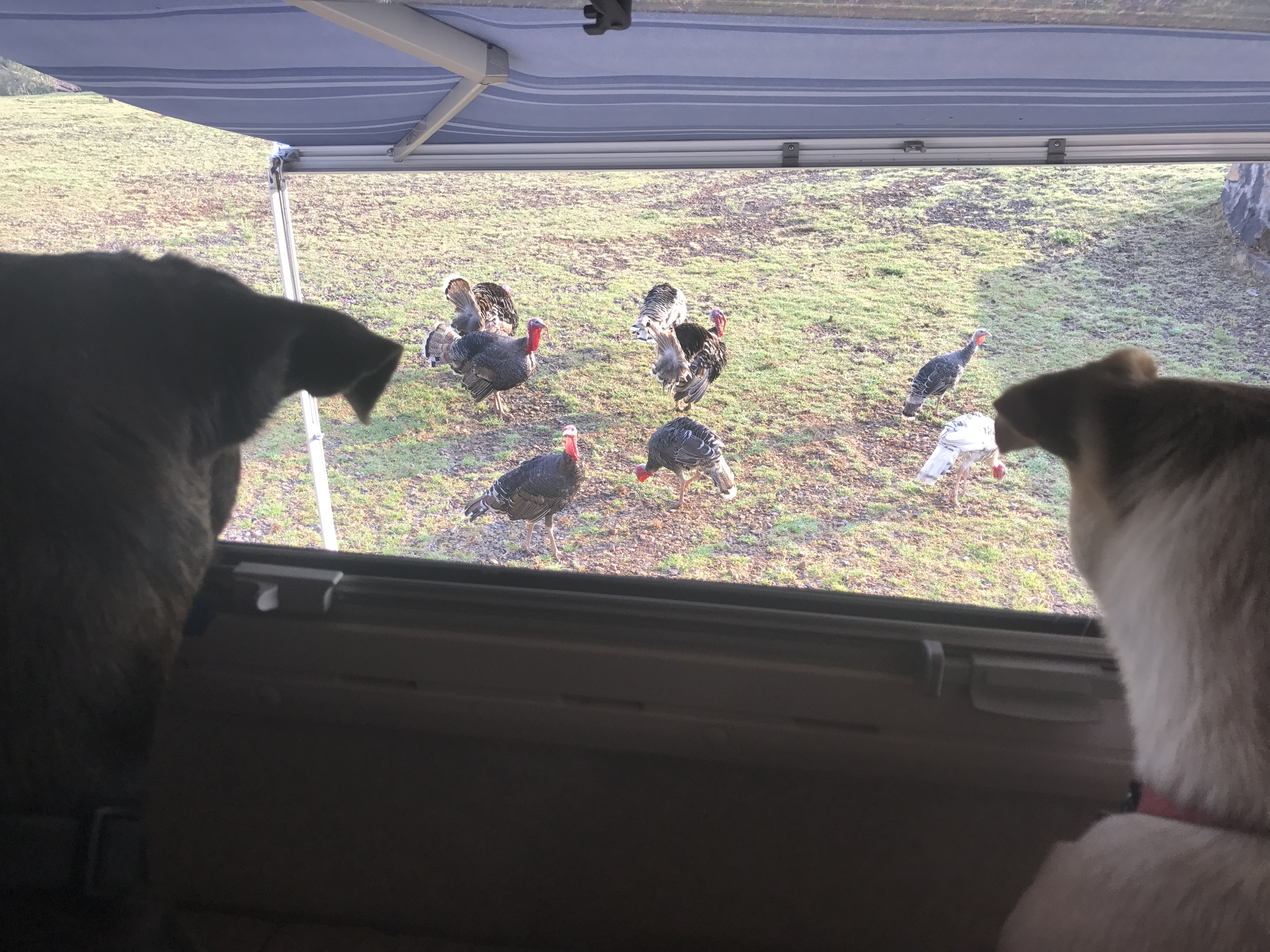 turkeys at the window.JPG