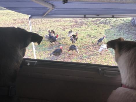 turkeys at the window.JPG