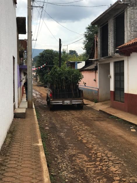 zarahuen avocado trees.jpg