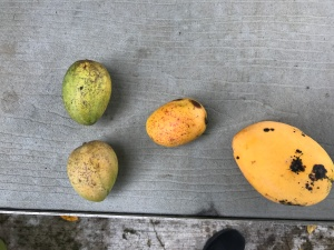 catemaco free mangos