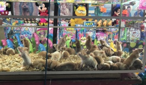 catemaco hamsters