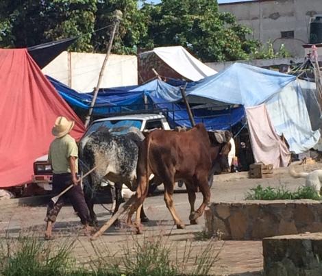 village ox.jpg