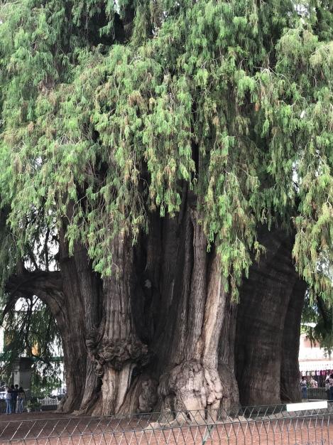 tule tree3