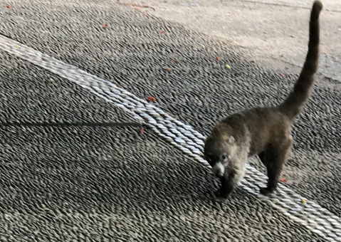 coatimundi zoo escapee..jpg
