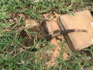 iguana in hole.