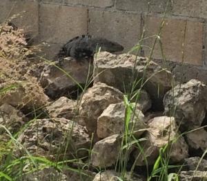 iguana rocks