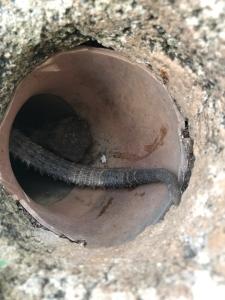 iguana tail1