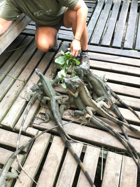 iguana feeding.jpg