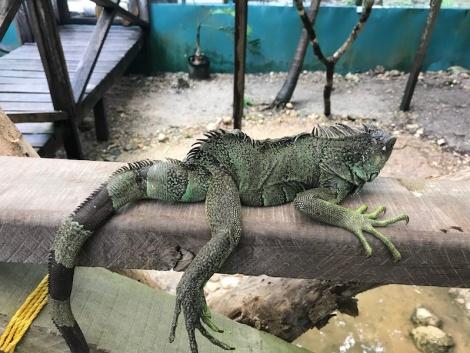 iguana ziggy.JPG