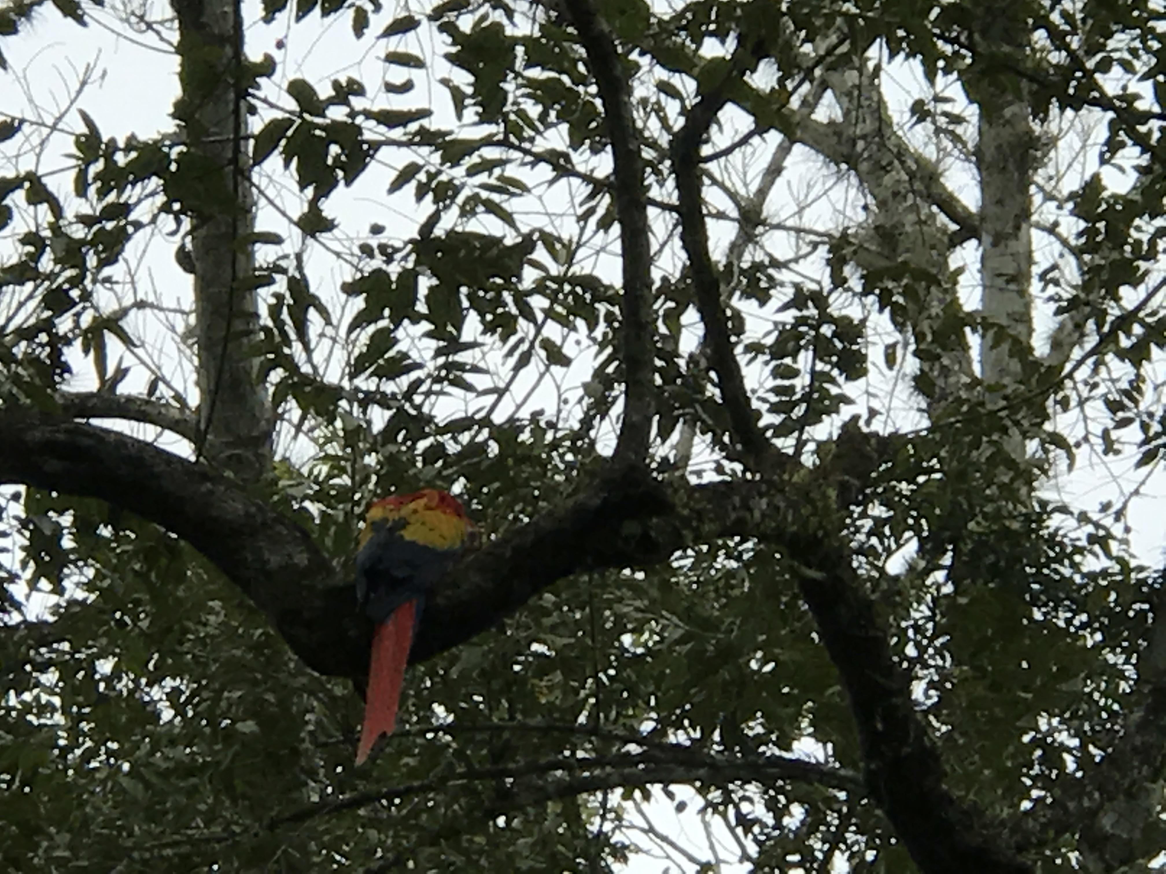 Copan Macaw