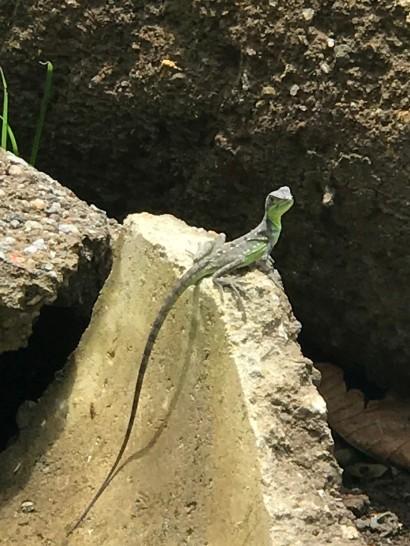 guayabo pretty lizard.jpg
