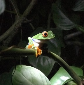 monteverde frog.jpg