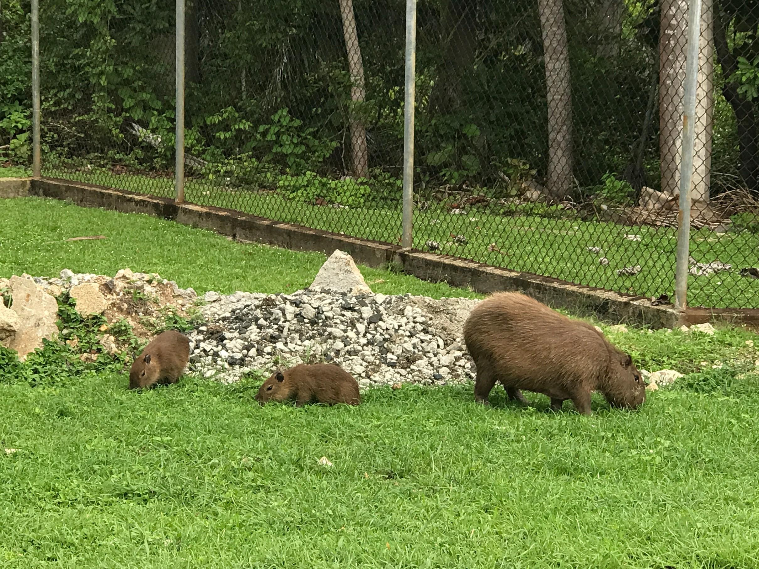 capybara in parking area.jpg