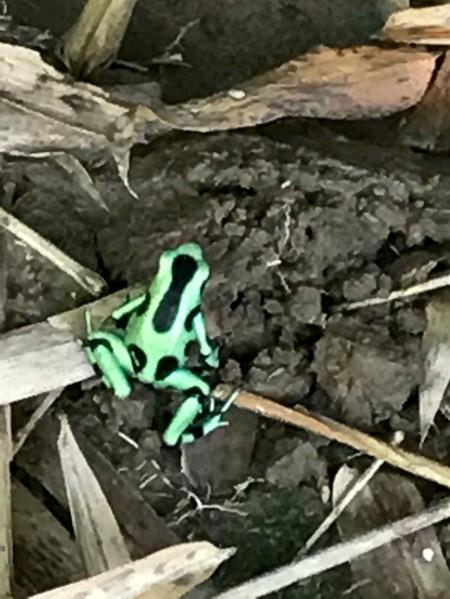 green frog in yard1