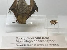 museum bat specimen