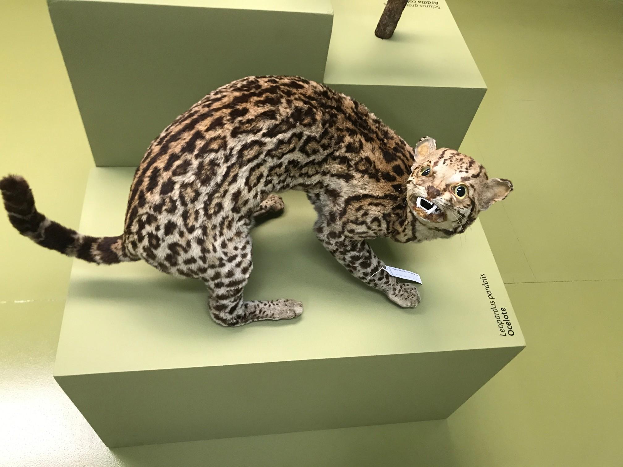 museum odd cat
