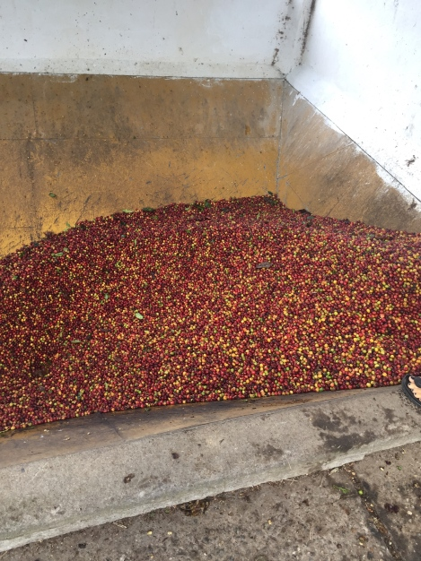 coffee process raw beans.jpg