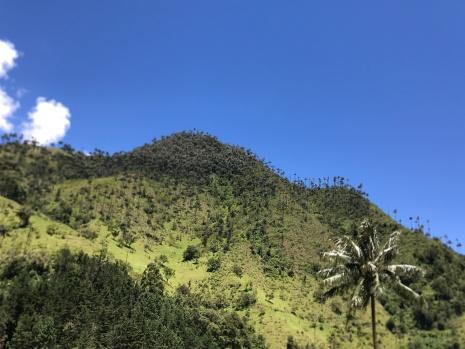 wax palms hillside